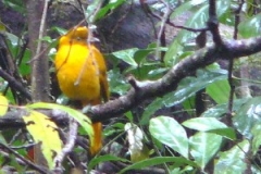 Golden BowerbirdJanet de Morgan
