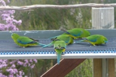 Orange-Bellied Parrots Janet de Morgan
