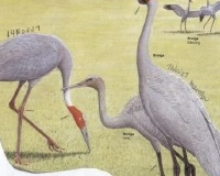 Sarus Crane (l) and Brolga (r) Birds of Australia, Ken Simpson, Nicolas Day